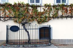 500 vinrankamaribor gammala slovenia år Royaltyfri Bild