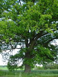 500 years old oak tree. 500 years old alone oak tree Stock Images