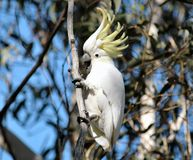597-Cockatoo Photo stock