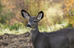 598关闭母鹿 免版税库存图片