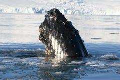 5顶头驼背s鲸鱼 免版税库存图片