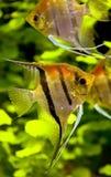 5条鱼scalare 库存图片