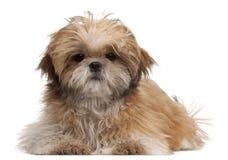 6个位于的月小狗shih tzu 免版税库存图片
