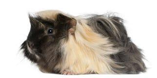 6个几内亚月秘鲁猪年轻人 免版税库存照片