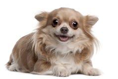 6个奇瓦瓦狗位于的月小狗 免版税库存图片