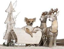 6个奇瓦瓦狗圣诞节月小狗 免版税库存图片