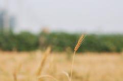 6个收获麦子 免版税库存图片