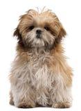6个月小狗shih坐的tzu 图库摄影