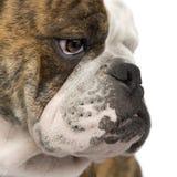 6个牛头犬英语月 免版税库存照片