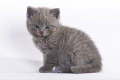 6个英国小猫shorthair星期 库存照片