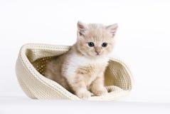 6个英国小猫shorthair星期 图库摄影