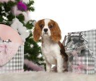 6个骑士查尔斯国王月小狗西班牙猎狗 免版税库存照片