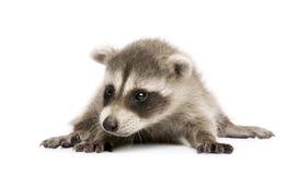 6个婴孩lotor浣熊属浣熊星期 免版税库存照片