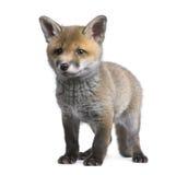 6个崽狐狸老红色狐狸星期 免版税图库摄影