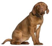6个bordeaux de dogue月小狗开会 库存图片