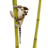 6个catta狐猴尾部有环纹的星期 免版税库存图片