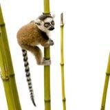 6个catta狐猴尾部有环纹的星期 免版税库存照片