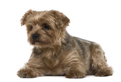 6位于的老狗年约克夏 免版税库存图片