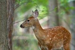 6只小鹿夏天 免版税图库摄影
