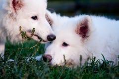 6只狗绵羊瑞士白色 免版税库存图片