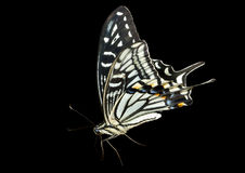 6只蝴蝶papilio xuthus 库存图片