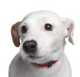 6品种狗插孔混杂的罗素年 免版税库存照片