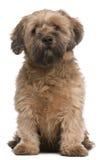 6品种狗混杂的老坐的年 免版税库存照片