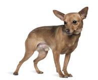 6微型老短毛猎犬常设年 库存图片