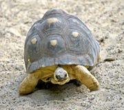 6放热的草龟 免版税库存照片