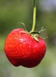 6月草莓 库存照片