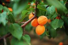 6杏子 图库摄影