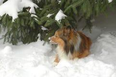 6条狗雪 库存图片