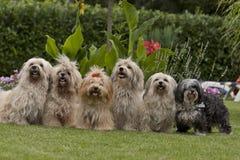6条狗havanese装箱 库存图片
