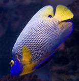 6条神仙鱼blueface 免版税图库摄影
