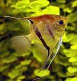 6条鱼scalare 免版税图库摄影