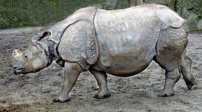 6极大的印第安犀牛 免版税库存图片