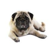 6查出的哈巴狗年 库存图片
