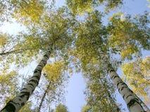 6桦树 免版税库存图片