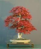 6棵盆景结构树 图库摄影