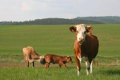 6母牛 免版税图库摄影