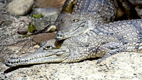 6澳大利亚鳄鱼 免版税库存照片