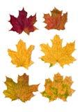 6片叶子槭树 库存图片