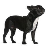 6牛头犬法国老常设年 库存照片