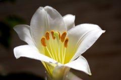 6百合属植物 免版税库存图片