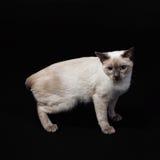 6短尾猫湄公河 库存照片