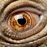 6绿色鬣鳞蜥老年 免版税库存图片
