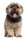 6老坐的狗年约克夏 库存照片