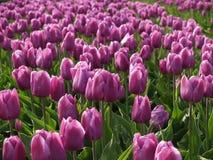 6荷兰语tulipfield 免版税库存照片