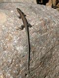6蜥蜴 免版税库存照片