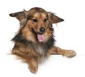 6达克斯猎犬老年 库存照片